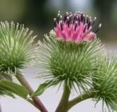 خواص گیاه بابا آدم برای لاغری ، مو و درمان بیماریهای مختلف