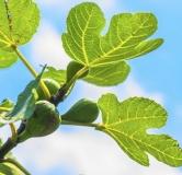خواص برگ انجیر ؛ کلسترول، دیابت و تریگلیسرید را با مصرف برگ انجیر درمان کنید